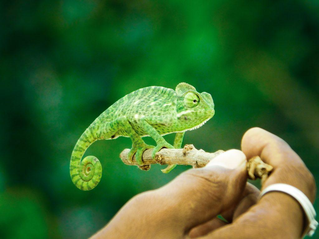 Reptiles camaleón verde
