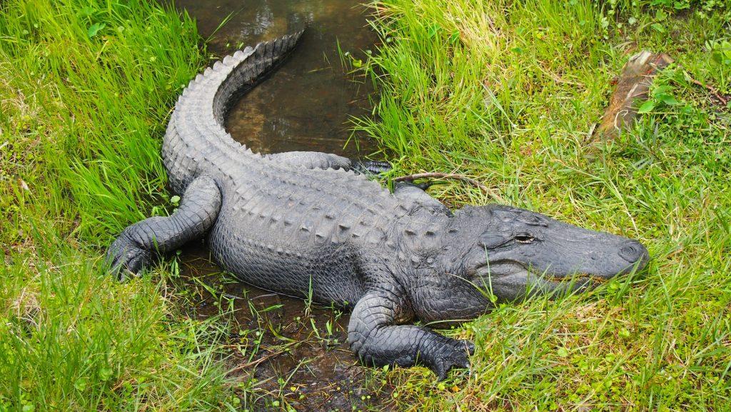Reptiles aligator alligator