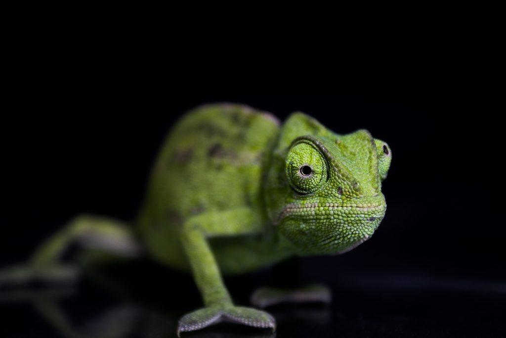 Reptiles Camaleón verde chamaleon