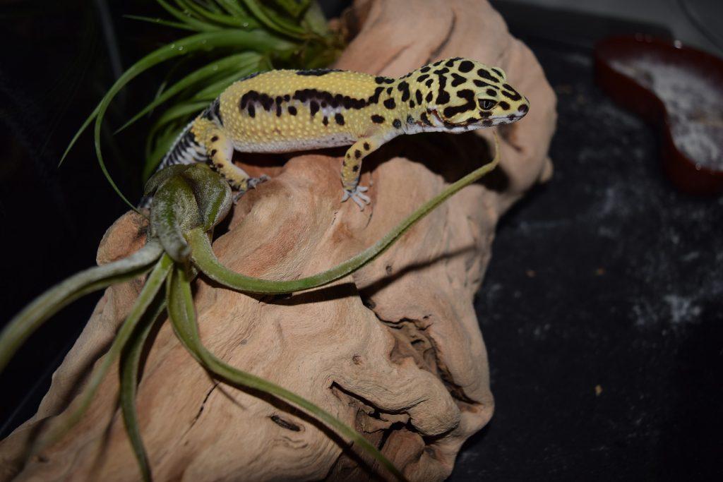 Reptiles gecko leopardo