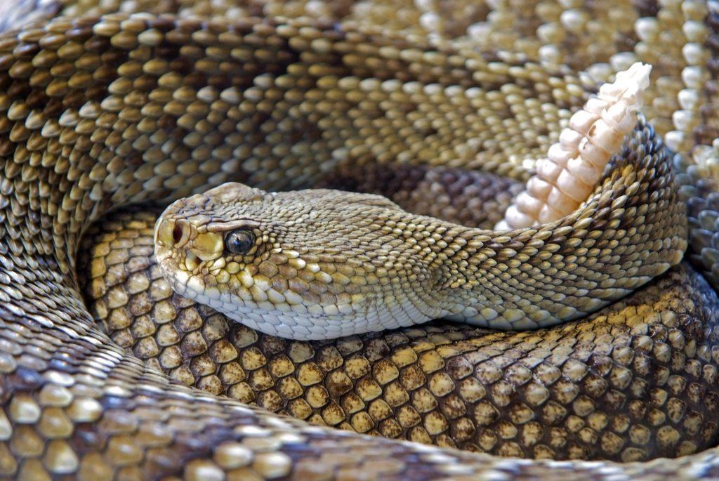 Reptiles serpiente de cascabel