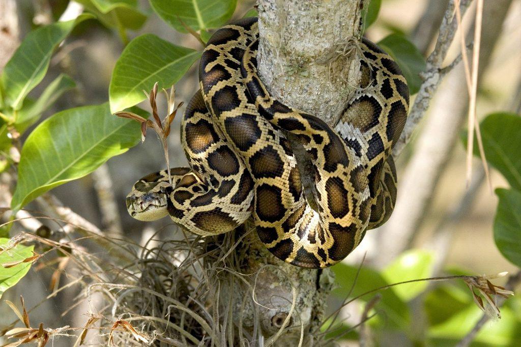 Reptiles serpiente pitón
