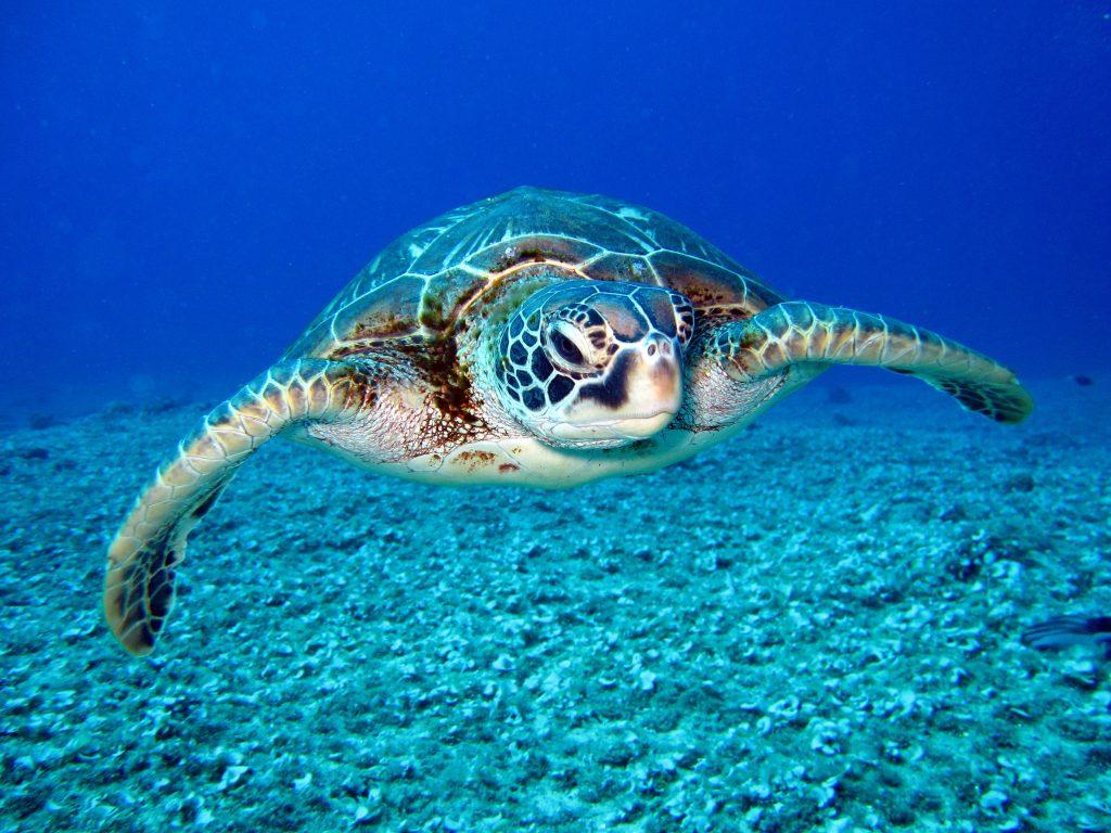 Reptiles tortuga marina