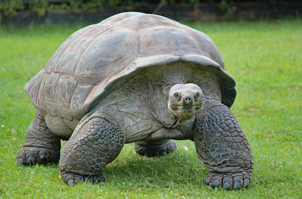 Reptiles tortuga terrestres gigante