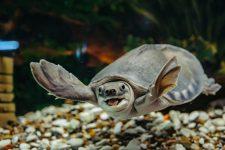 Tortuga nariz de cerdo (Carettochelys insculpta)