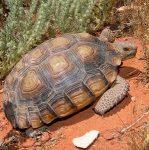 La tortuga del desierto de Mojave (Gopherus agassizii)