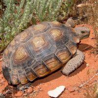 gopherus agassizii tortuga del desierto de mojave