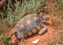 La tortuga del desierto de Mojave ( Gopherus agassizii )