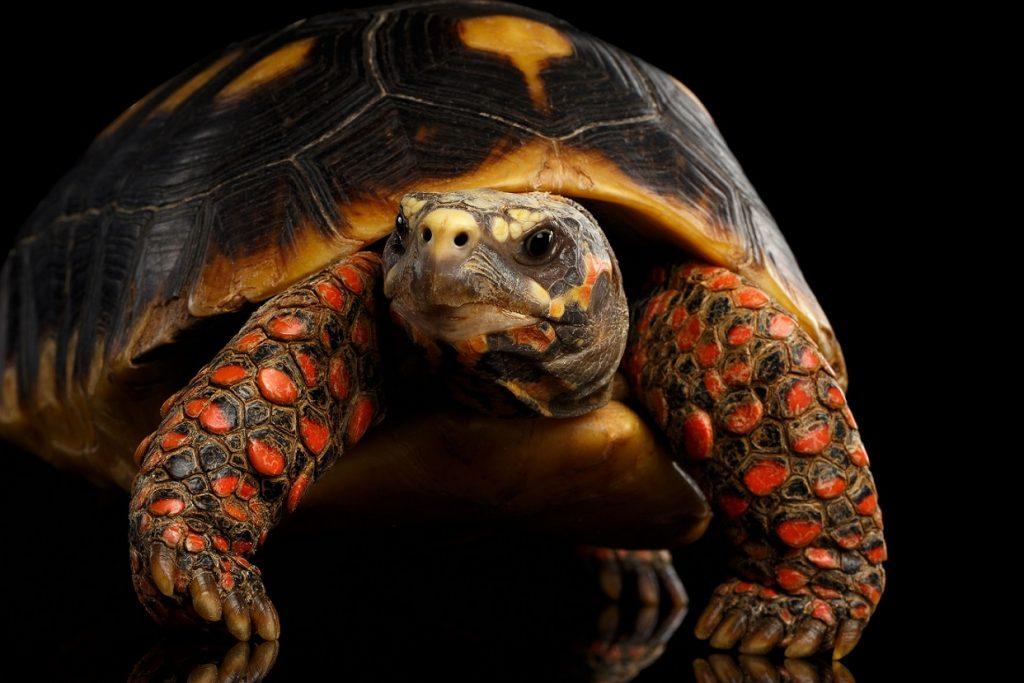 morrocoy tortuga terrestre de patas rojas Chelonoidis carbonaria