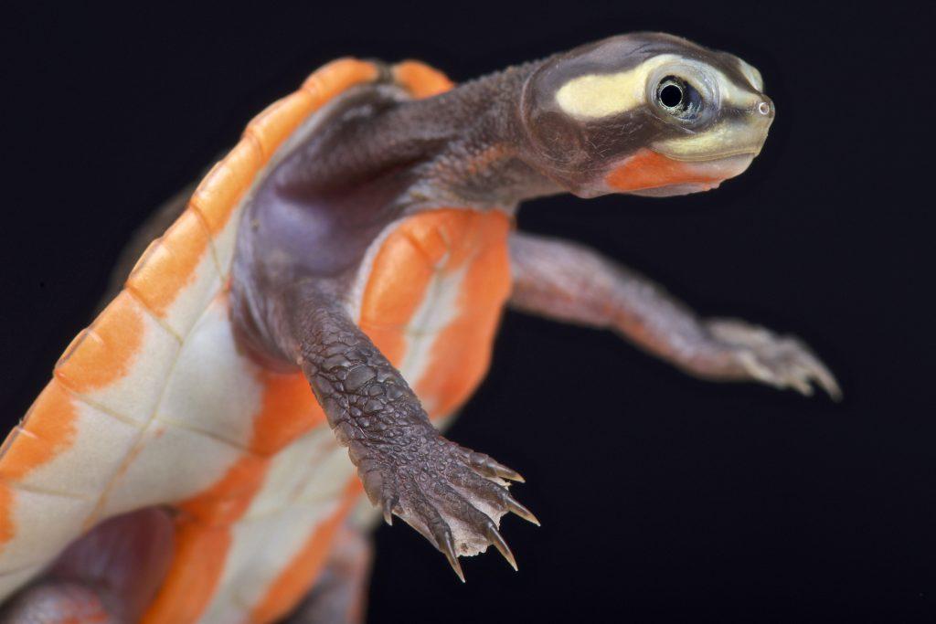 tortuga de cuello corto emydura subglobosa