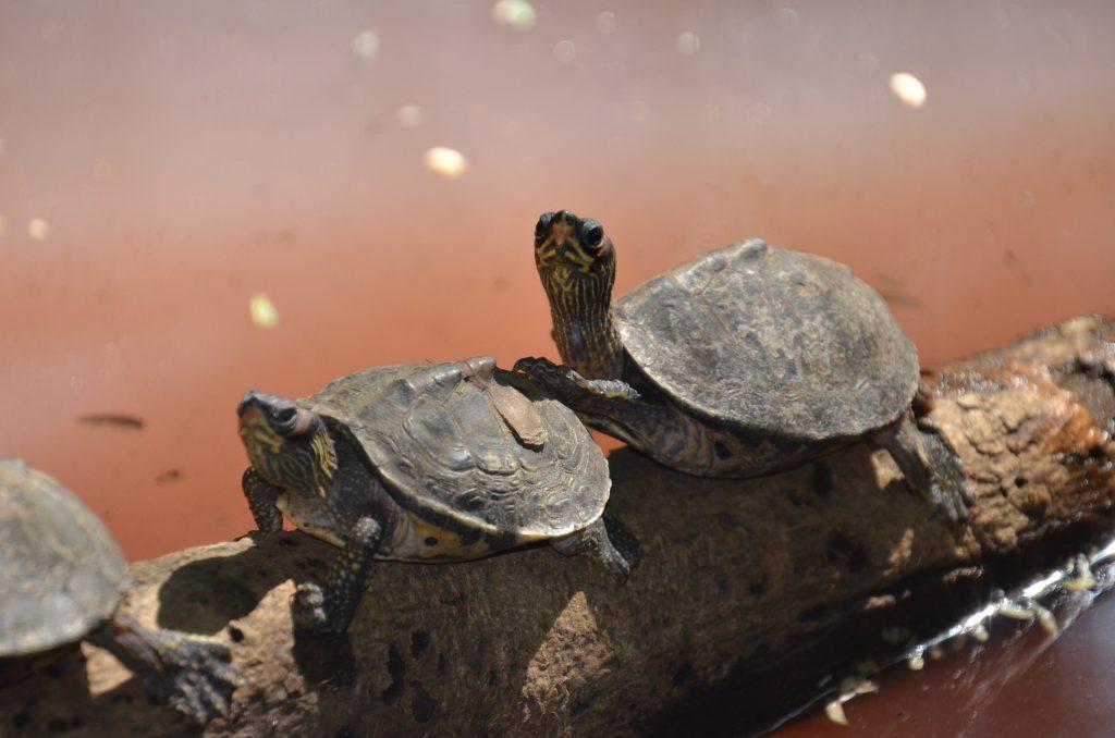 tortugas de agua quelonios