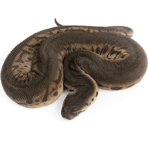 Serpiente trompa de elefante (Acrochordus javanicus)