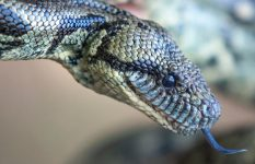 Boa terrestre de Madagascar (Acrantophis madagascariensis)