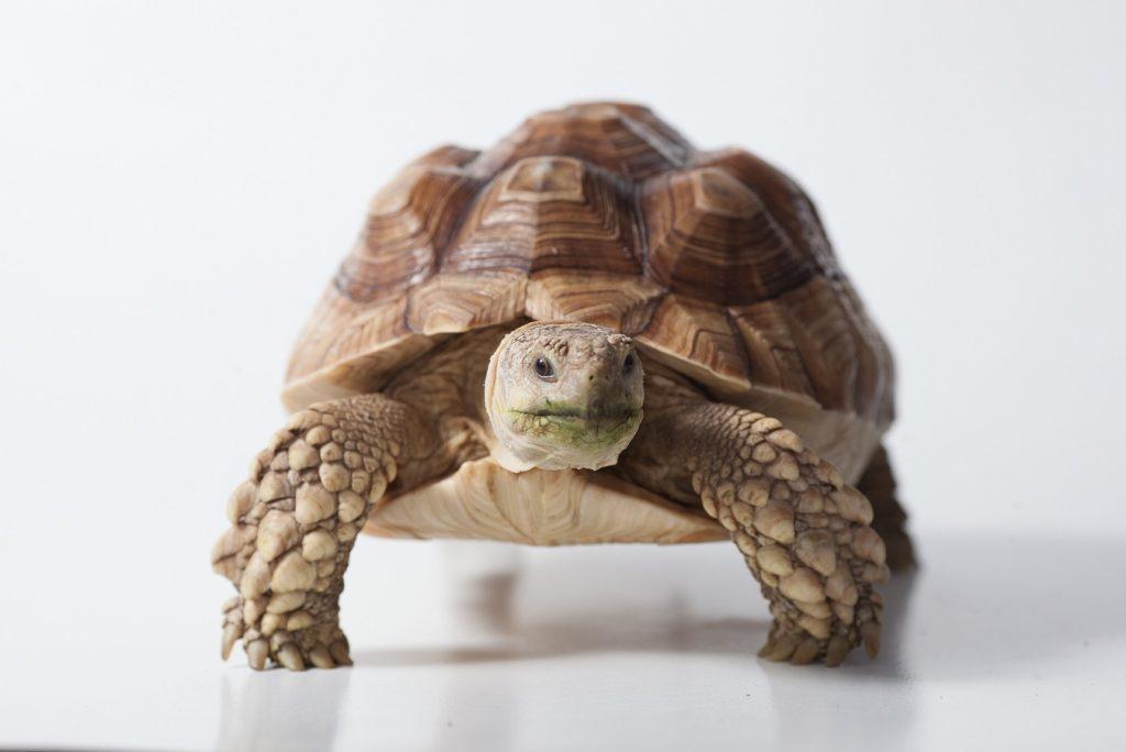 tortuga sulcata adulta
