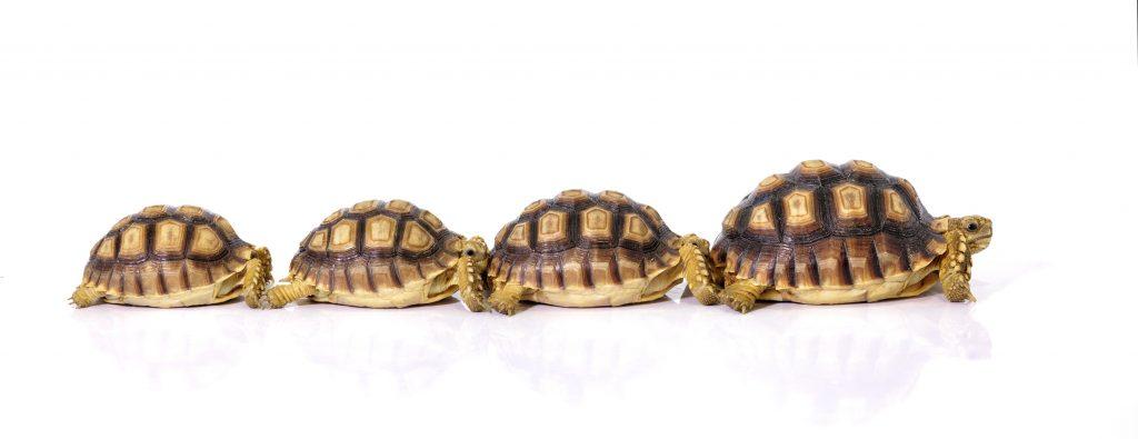 Crecimiento de la tortuga sulcata