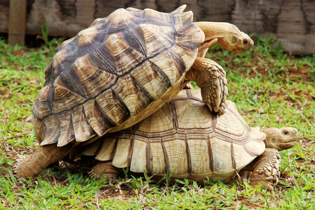 tortugas de espolones sulcata reproduciendose copulando