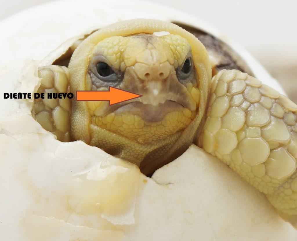 tortuga bebe con diente de huevo