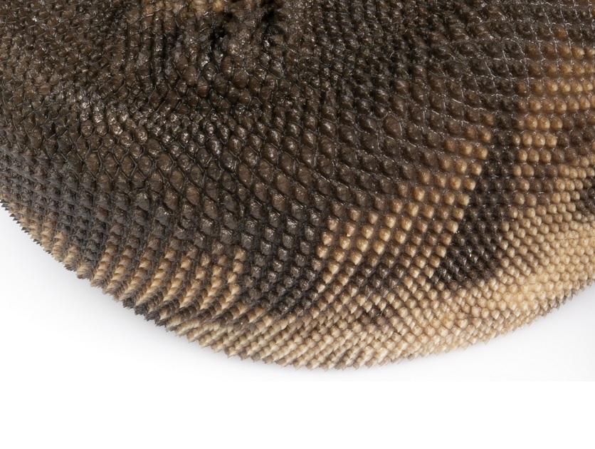 escamas Acrochordus javanicus