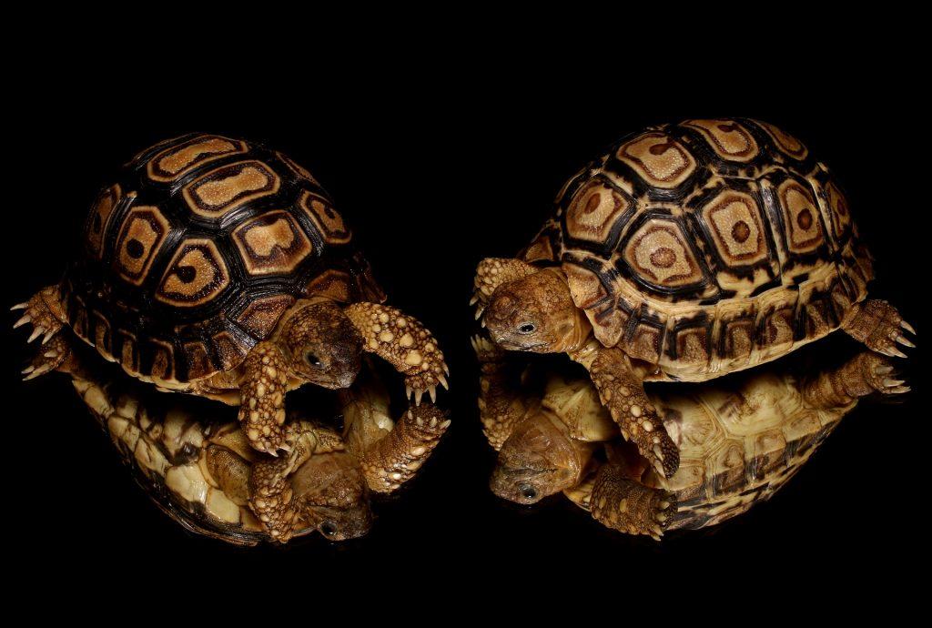 imagen tortugas leopardo bebes