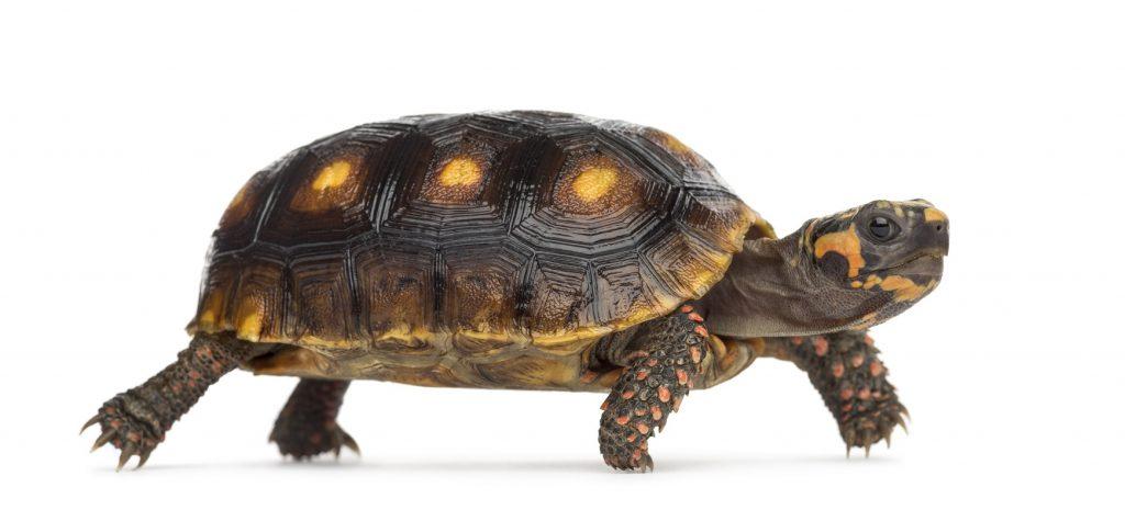 tortuga morrocoy bebe morrocoyo de patas rojas