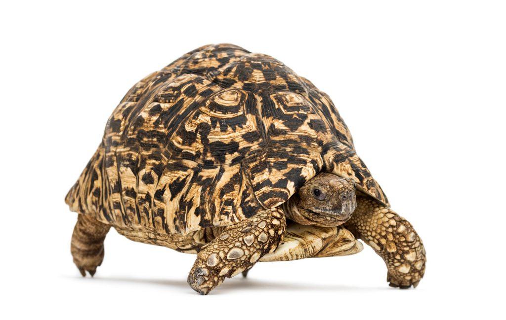 tortuga leopardo adulta stigmochelys pardalis