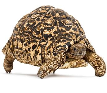 Tortuga leopardo Stigmochelys pardalis