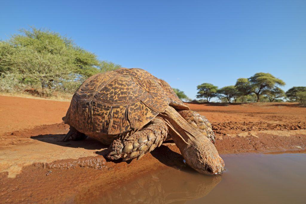 tortuga pardalis bebiendo en la sabana