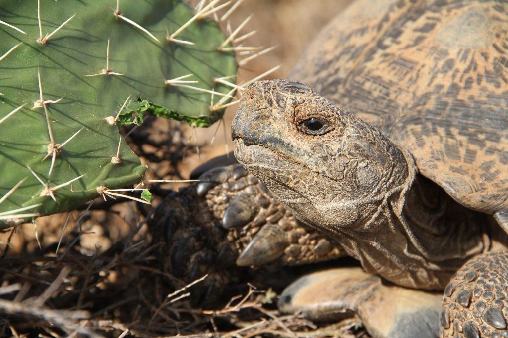 Stigmochelys pardalis comiendo cactus