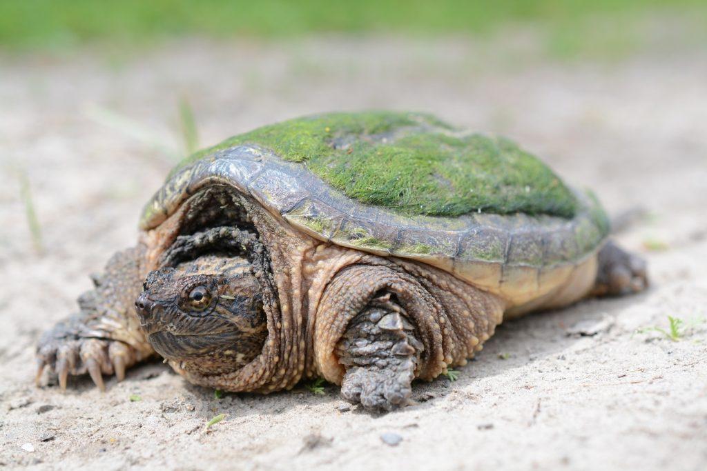 tortuga mordedora chelydra serpentina