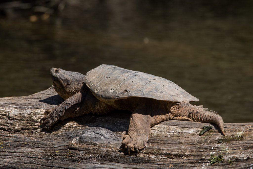 tortuga mordedora sobre tronco