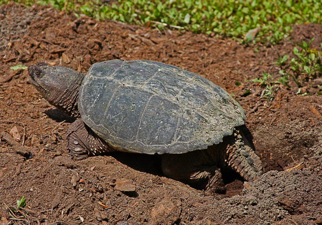 tortuga mordedora haciendo un nido