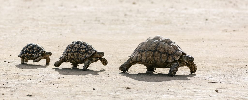 grupo de tortugas leopardo en fila