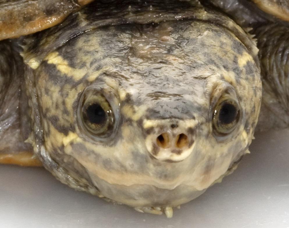 Detalle cabeza de la tortuga apestosa