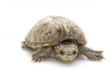 Tortuga apestosa o almizclada (Sternotherus odoratus)