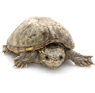 Sternotherus odoratus Tortuga apestosa
