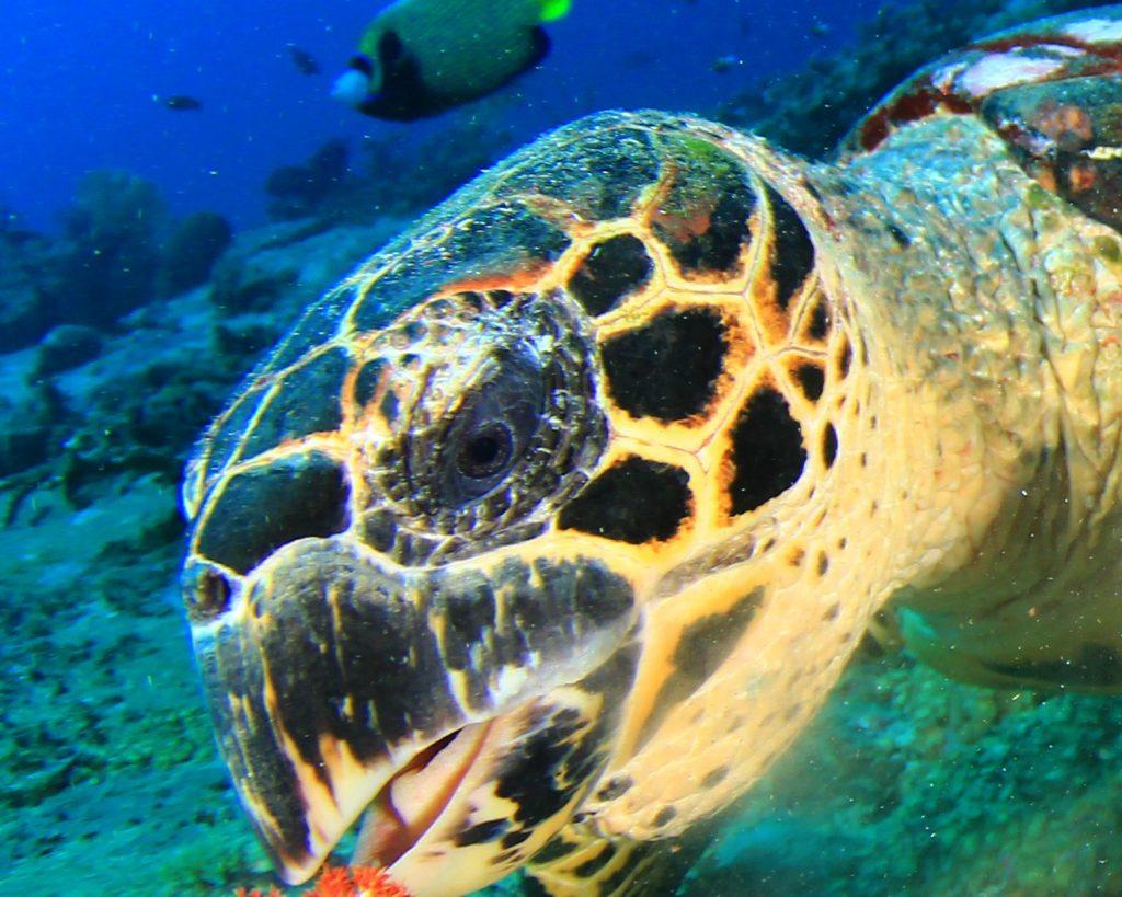 las tortugas marinas escuchan
