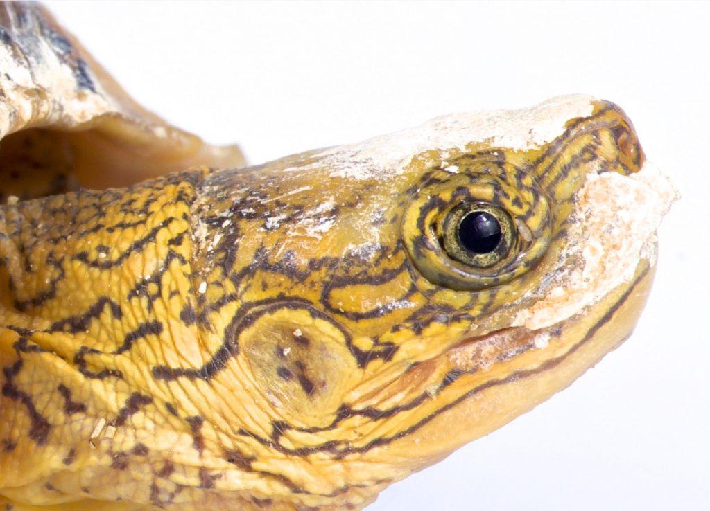 las tortugas terrestres oyen