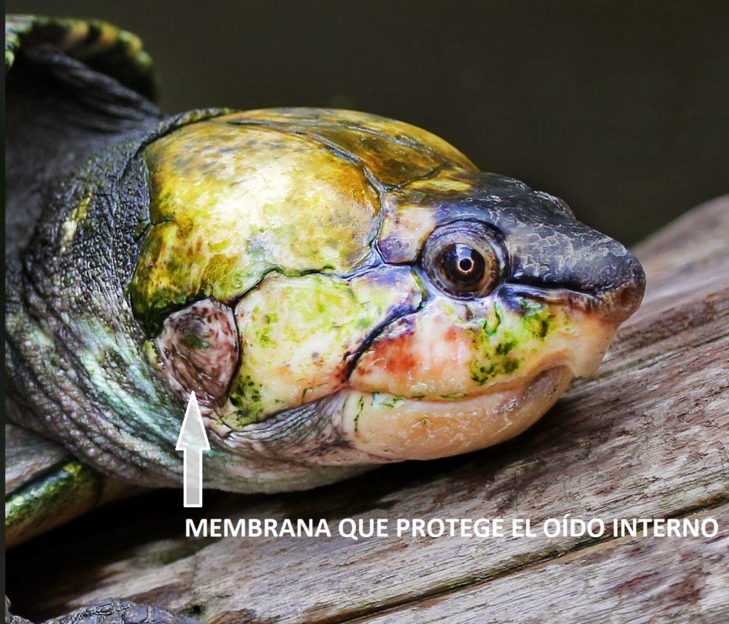 membrana exterior protege oído interno tortugas