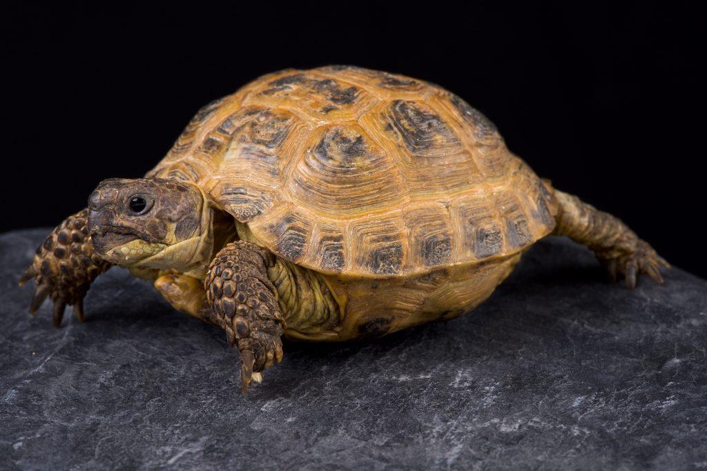 Testugo Agrionemys horsfieldii. Foto de estudio de la tortuga rusa.