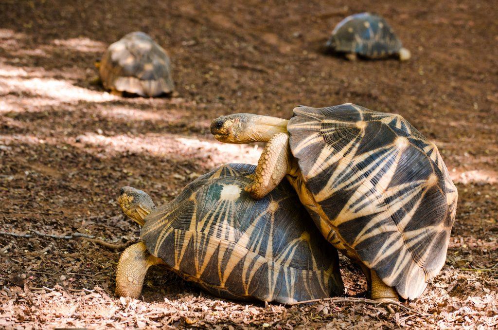 macho y hembra de tortuga radiada reproduciéndose. Imagen de copula, coito o apareamiento