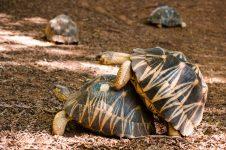 Tortuga gimiendo ¿Las tortugas hacen sonidos?