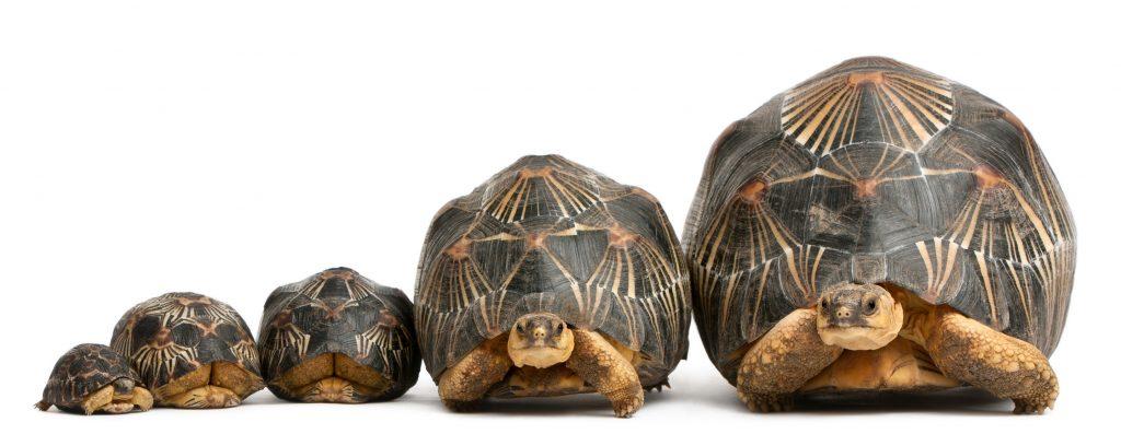 tortuga radiada o Astrochelys radiata de diferentes tamaños y dimensiones