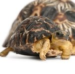 Tortuga Radiada (Astrochelys radiata)