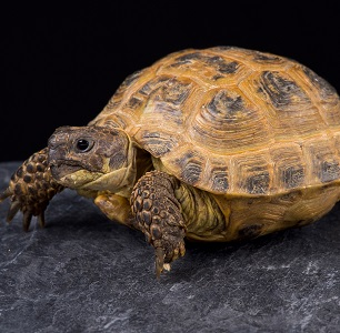 Tortuga Rusa ( Testudo Agrionemys horsfieldii )