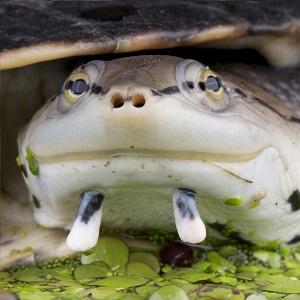 Tortuga sudamericana de arroyo (Phrynops hilarii)