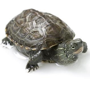 Tortuga china (Mauremys reevesii)