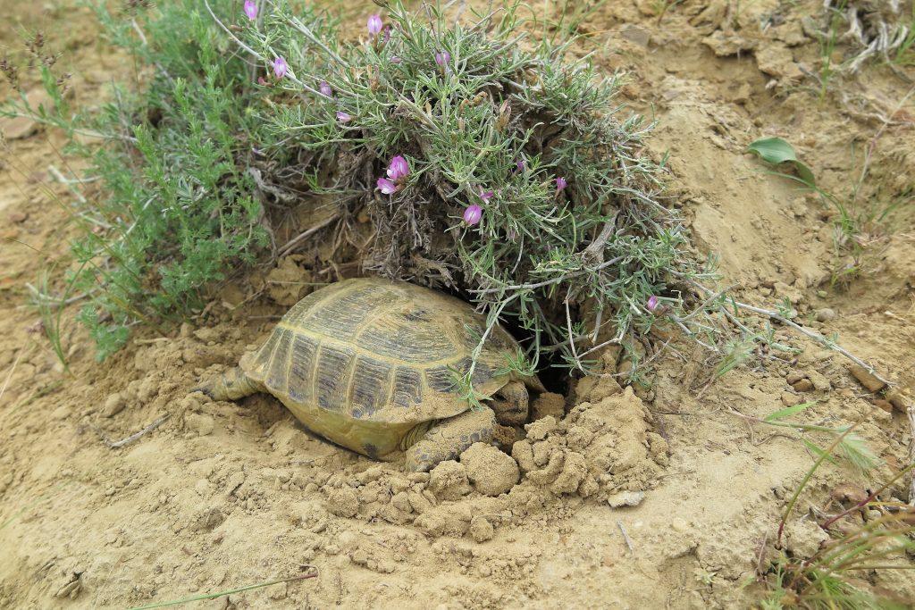 Agrionemys horsfieldii o tortuga rusa excavando en la tierra.