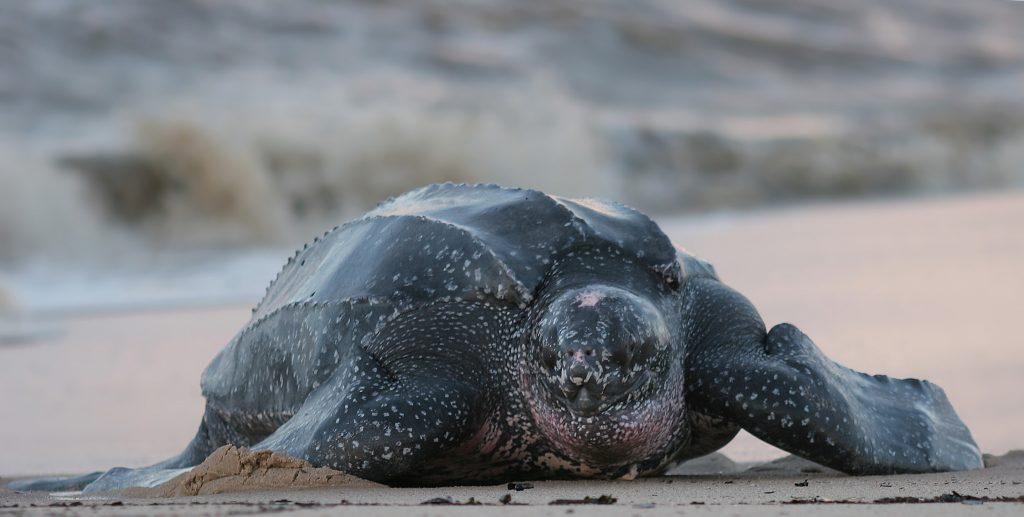 la tortuga marina más grande del mundo