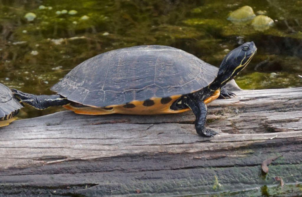 ejemplar adulto de tortuga de vientre rojo del norte