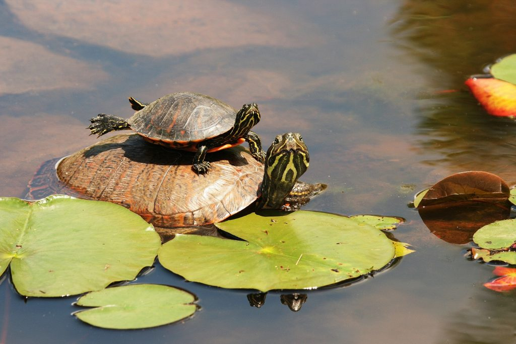 bebe y adulto de Pseudemys rubriventris en un estanque